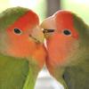 rosy_faced_lovebird
