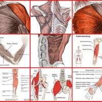 筋肉の部位名称とそれぞれの鍛え方|ウエイトトレーニングの完全バイブル